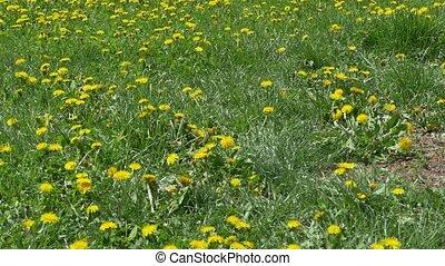 Field of Dandelions in Park - A field full of dandelions in...