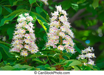 Flowering branches of chestnut (Aesculus hippocastanum) on...