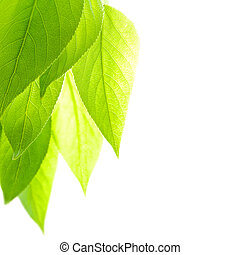 Freshness - poplar leaves over the white background with...