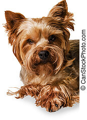 Dog Yorkshire terrier portrait