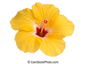 Hibisco, amarillo