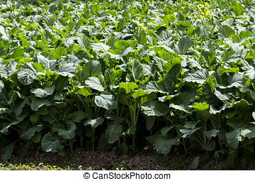 collard greens - close-up, photographed in daylight collard...