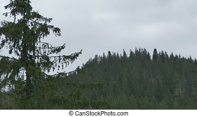 Mountain Massif and Fir Forest - Pan shot to a mountain...