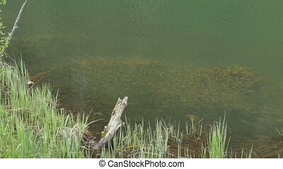Pond Algae Underwater - Underwater grown vegetation near the...