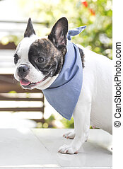 absent-minded French bulldog - an absent-minded French...