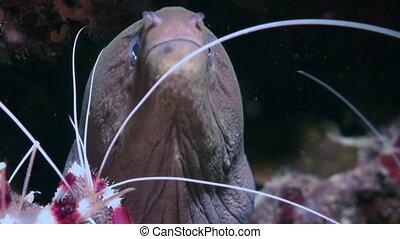Moray and cleaner shrimp. Close Up Shot. Maldives.