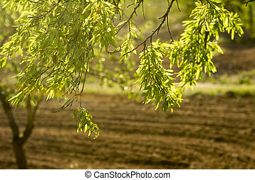 Back lit Almond tree with a deep rich ploughed field in the...