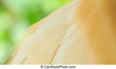 Closeup Cattle Egret Head Cleans Feather on Chest - closeup...