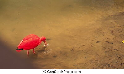 Closeup Bright Scarlet Ibis Walks in Shallow Water - closeup...