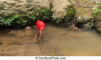 Bright Scarlet Ibis Walks in Shallow Water by Stones -...