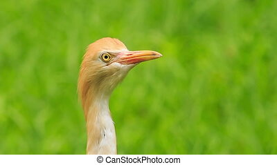 Closeup Small Orange Cattle Egret Turn Head in Park -...