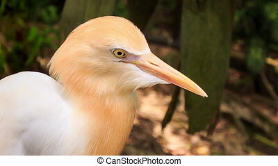 White Cattle Egret Orange Head Walks on Stone Border in Park...
