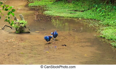Blue Dove with Fluffy Crests Walk in Water Peck Food