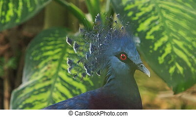 Closeup Blue Dove Head with Fluffy Crest against Plant -...