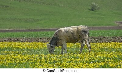 Cow Grazing in Dandelions - A striped cow is grazing lonely...