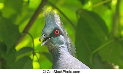 Closeup Grey Dove Head with Red Eye Looks Around - closeup...