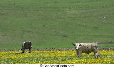 Cows Grazing on Spring Fields - Cows grazing freely oni a...