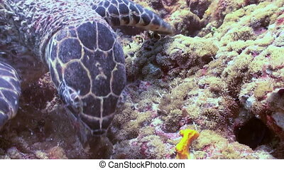 Hawksbill sea turtle swimming eating on coral reef Amazing,...