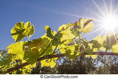 Back lit grapevine