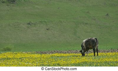Cow Grazing Freely - A lonely cow is grazing in the distance...