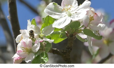 Bee on Apple Blossom - Close up shot of a bee polinating an...