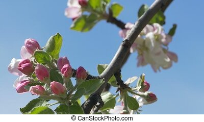 Branch of Apple Blossoms - A twig of bloom flowers apple...