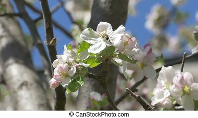 Bee Blossom Trees - Bee are pollinating apple flowers in the...
