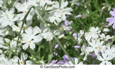 Spring Flower Bush - Pan close up shot of white and violet...