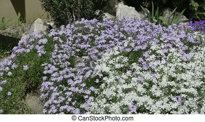 Tiny White and Blue Flowers Bush - Pans shot to beautiful...