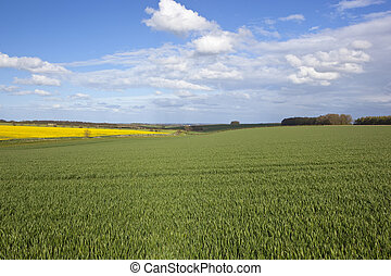 agricultural countryside in the yorkshire wolds - oilseed...