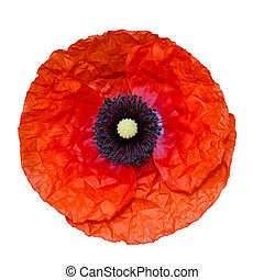 Poppy flower isolated on white background