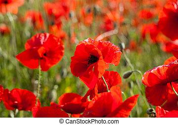 Poppy flower - Poppy red flower in summer