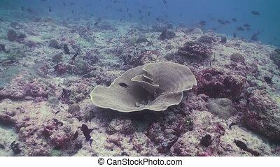Underwater landscape of coral reef. Maldives.
