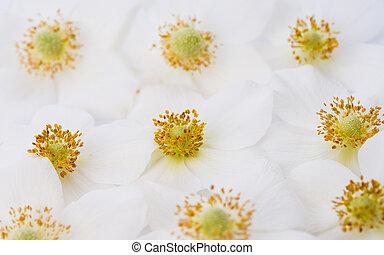 Back lit white windflower in spring
