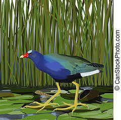 Purple Gallinule - Porphyrio martinica - on lily pads