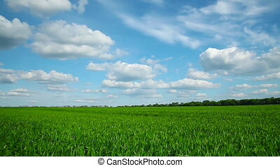 Panorama of the field with wheat - White clouds over field...