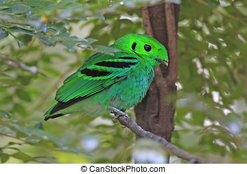 Green Broadbill Male Birds of Thailand - Green Broadbill...
