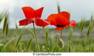 Red Poppies in the Field - Flowering Red Poppies in the...
