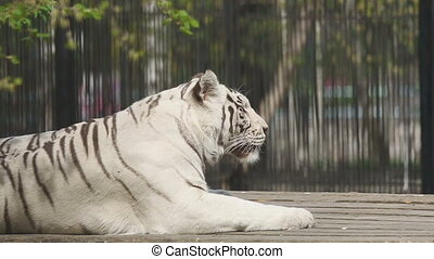 White tigress in ZOO - Gorgeous white tigress lying on the...