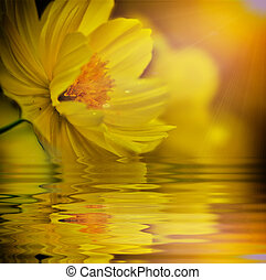 Yellow cosmos flower on vitage light and reflect in water