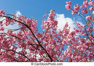 Against blue sky: Japanese flowering cherry tree blooming in...