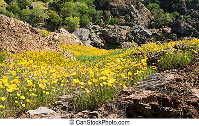 Small mountainous valley covered in California poppies - A...