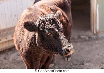 Dexter cow Bos taurus - Found in Ireland, the Dexter cow Bos...