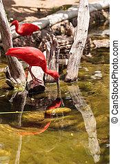 Scarlet ibis, Eudocimus ruber, is a bright pink bird found...