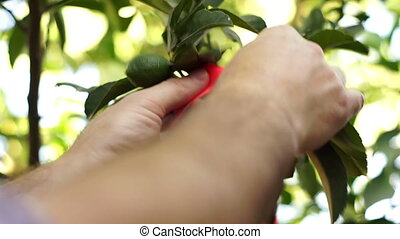 Grower Ties Ribbon to Citrus Tree - Close up shot of an...
