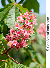 Aesculus x Carnea, or Red Horse-chestnut Flower - Red...