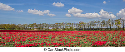 Panorama of red tulips along a treeline in the Netherlands