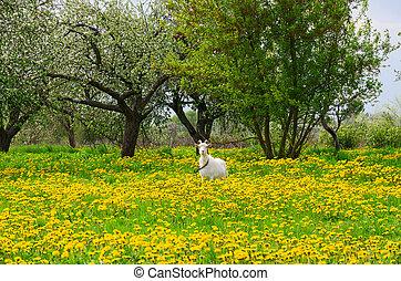White goat is grazed among flowering dandelions in apple...