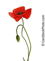 Poppy flowers with bud