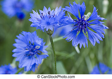 cornflower - developed blue cornflower on green cereals...